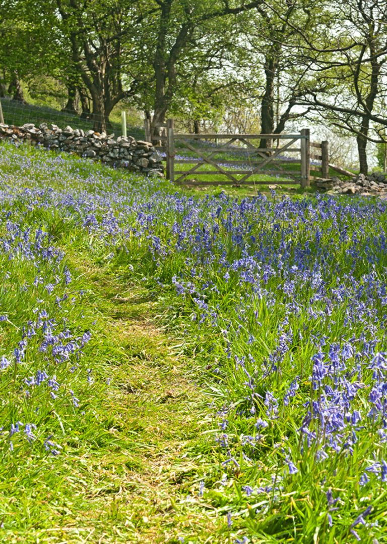 Bluebells in Oxenber woods between Austwick and Feizor